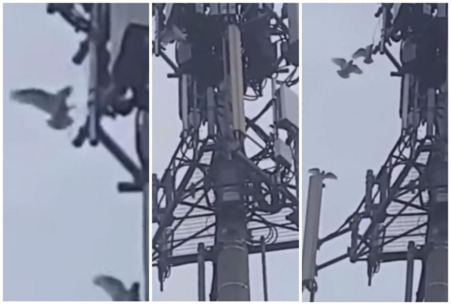 OVAJ SNIMAK TEORETIČARIMA ZAVERE DOKAZUJE SVE: Ptice u Australiji kidišu na toranj 5G mreže (VIDEO)