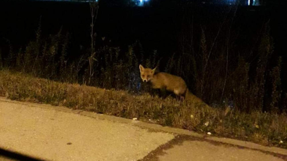 OVAKAV PRIZOR ZENIČANI NISU OČEKIVALI: Lisica se prošetala centrom grada