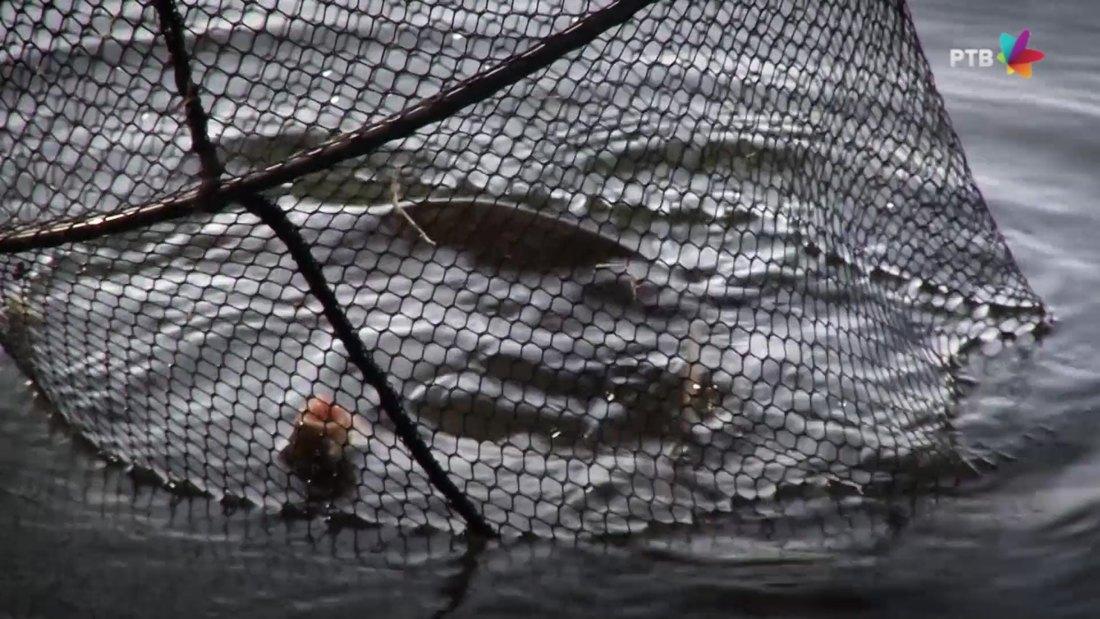 Obnavljanje ribljeg fonda u Palićkom jezeru
