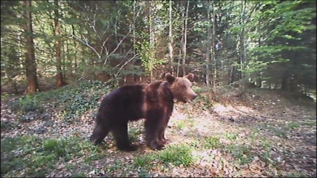 Oči u oči sa medvedom: Poštara na Goliji presrela ova životinja, a onda je počeo da viče i beži