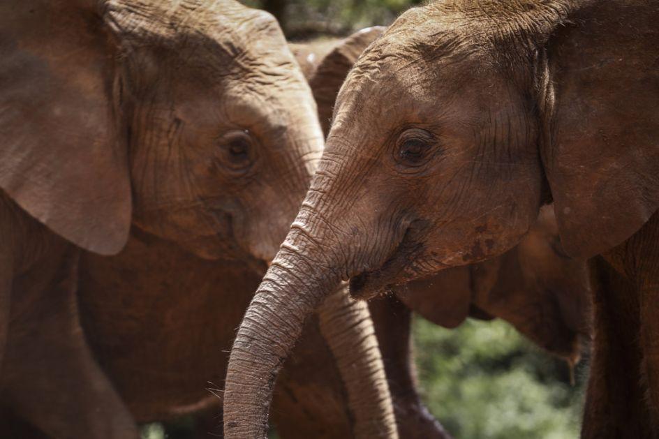Oni ne zaboravljaju – krdo slonova ubilo lovokradicu