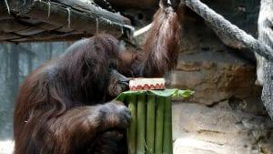 Organizovana proslava 50. rođendana ženke orangutana Nenet u Parizu