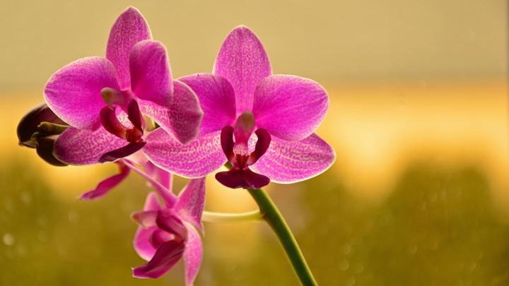 Orhideja može cvetati tokom cele godine: Samo morate da uradite ovo!