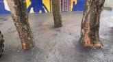 Osmo svetsko čudo: Asfaltirano drveće u Miljakovcu
