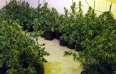 Otkrivena laboratorija za proizvodnju marihuane u okolini Zrenjanina FOTO