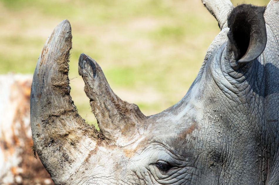 Otkrivena nova vrsta praistorijskog nosoroga - viši od žirafe i težak kao četiri slona