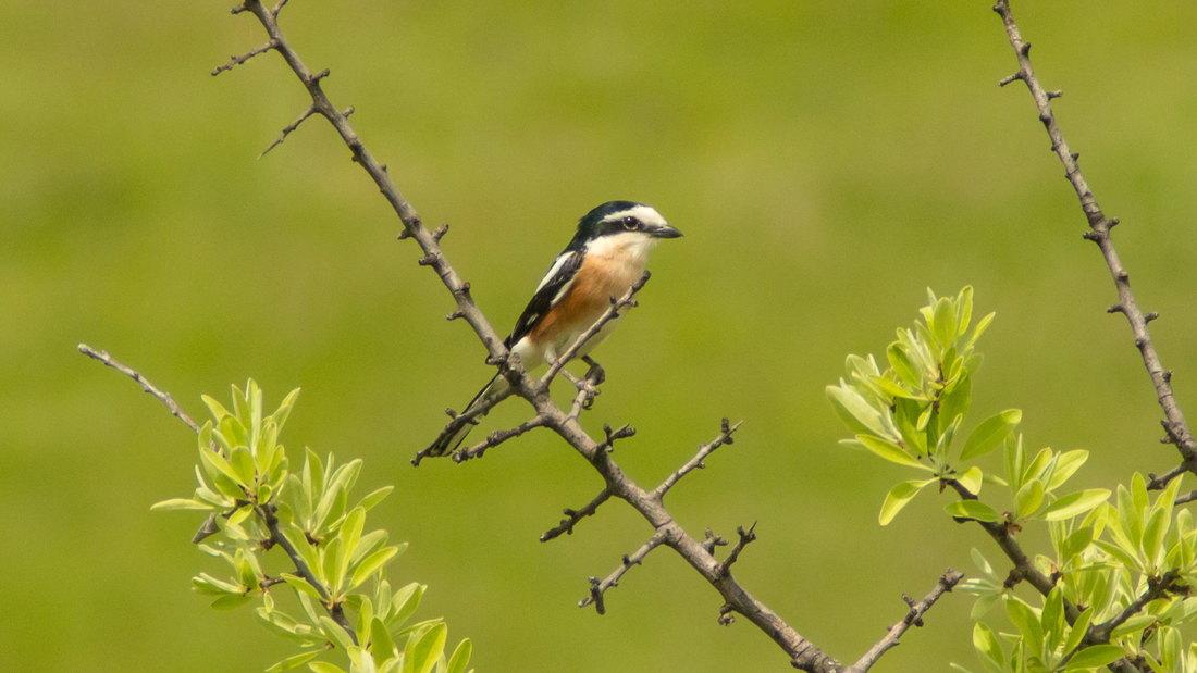 Otkrivena nova vrsta ptice u fauni Srbije
