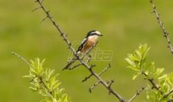 Otkrivena nova vrsta ptice za područje Srbije, dugorepi svrčak