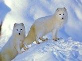 Otvara se prvi zoološki vrt na Arktiku: Efikasno ćemo koristiti prirodni pejzaž