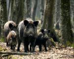 Otvorena sezona lova na divlje svinje u Toplici