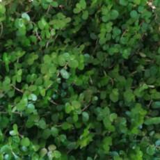 Ova biljka DONOSI SREĆU u kuću, izgleda veoma DEKORATIVNO i divno se uklapa u svaki ENTERIJER!