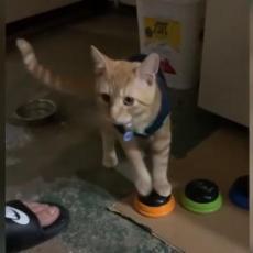 Ova mačka zna da govori, pomoću dugmića traži da jede i najviše voli da PSUJE! (VIDEO)