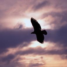 Ova ptica se nalazi na ZASTAVI SRBIJE: Spada u ugrožene vrste, ali jedna stvar uliva nadu da će se to promeniti