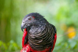 Ovo je najneobičnija vrsta papagaja