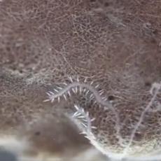 Ovo stvorenje ima čak 100 ANALNIH OTVORA, a kad se razmnožava, iz njih mu izrastaju oči i mozak! (VIDEO)