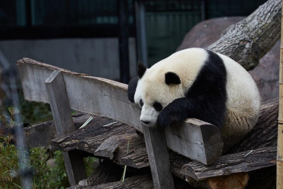 PANDA POBEGLA IZ KUĆICE VREDNE 24 MILIONA DOLARA: Mužjak viđen na kameri kako luta zoološkim vrtom u Kopenhagenu!