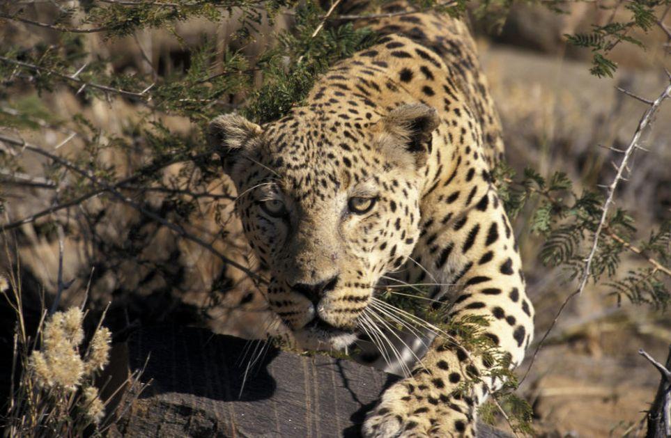 PANIKA U KINI: Leopardi pobegli iz safari parka, za jednim se još traga