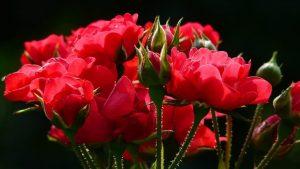 PKS: Srbija prošle godine izvezla ruža u vrednosti 2,5 miliona evra