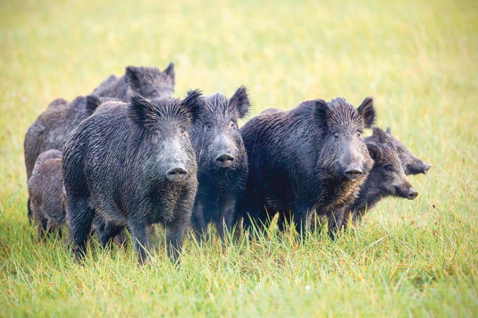 POČELA LOVNA SEZONA: U danu odstreljeno 14 divljih svinja