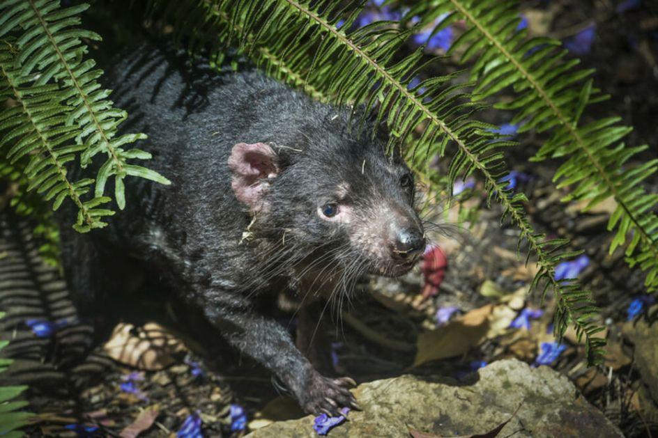 POKUŠALI DA IH SPASU OD ISTREBLJENJA, ONI UNIŠTILI CELU POPULACIJU PINGVINA: Tasmanijski đavoli seju užas na australijskom ostrvu