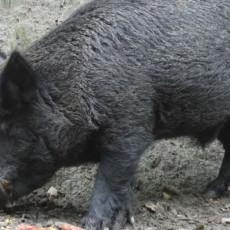 POLJOPRIVREDNICI NA MUKAMA: Berba kukuruza još nije počela a divlje svinje već uništile parcele