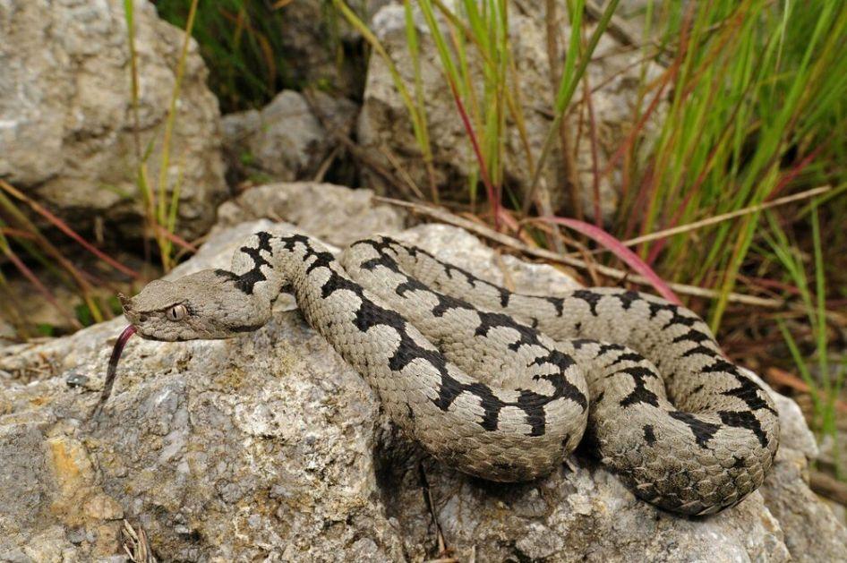 POSKOK U NEMAČKOJ Bosanac ne znajući prešao 1000 kilometara i četiri granice sa zmijom ispod haube