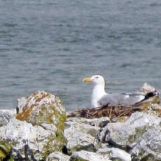 POVRATAK NAKON 120 GODINA: Morski galeb se ponovo gnezdi u Srbiji