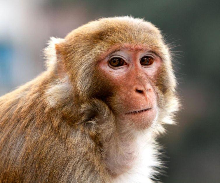 PRIZOR KOJI LEDI KRV U ŽILAMA: Tajno snimali okrutno mučenje majmuna u laboratoriji! Vezane životinje vrište od bolova! (FOTO)