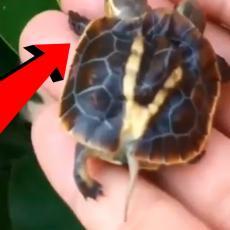 PRONAĐENA DVOGLAVA KORNJAČA! Ovako nešto još NISTE videli: Kad se priroda poigra... (VIDEO)