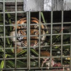 PRVA INFICIRANA ŽIVOTINJA U SAD: Tigar iz Zoološkog vrta u Bronksu pozitivan na koronu