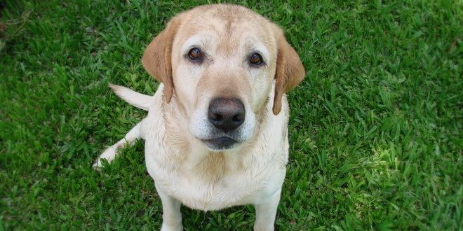 Pančevo: Labrador izujedao trogodišnju devojčicu, zadobila teške povrede lica