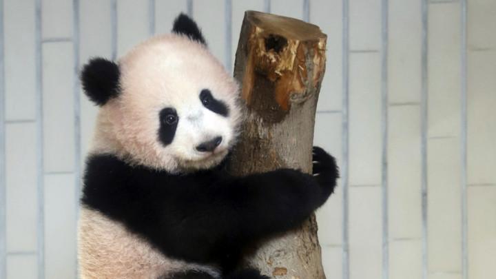 Panda i kineski fenjer maskote ZOI 2022. u Pekingu