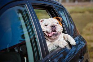 Pas za volanom potpuna senzacija u Australiji
