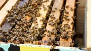 Pčelari i Uprava za zaštitu bilja apeluju na poljoprivrednike da ne truju pčele
