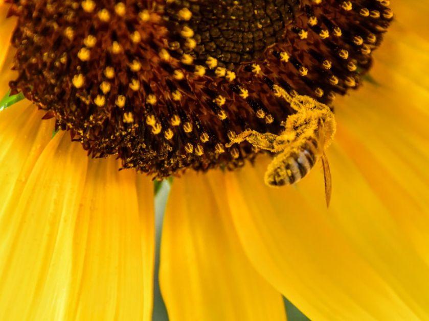 Pčele koje unose kofein rade bolje od ostalih