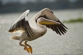 Nije tačno da pelikana na Dunavu nije bilo 100 godina