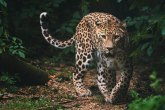 Pobegla tri leoparda - safari park prećutao