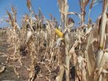 Počela berba kukuruza u Toplici, rod manji i do 25 odsto