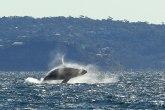 Pogrešno skretanje: Kitovi zalutali u reku sa krokodilima