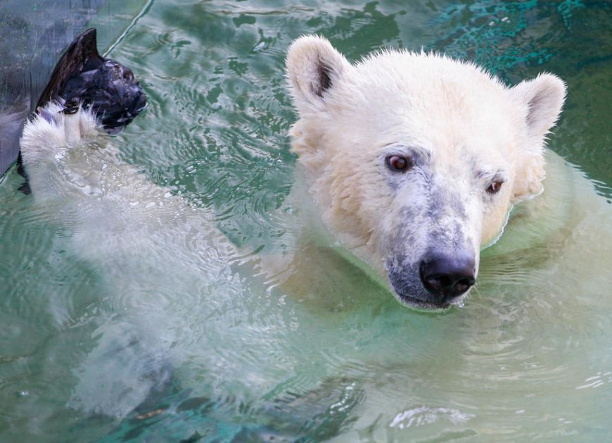 Polarni medvedi će nestati do 2100. godine