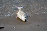 Pomor ribe u Marici i Čaji, zvaničnici bez informacija; Toliko uginulo da treba 10 godina za oporavak