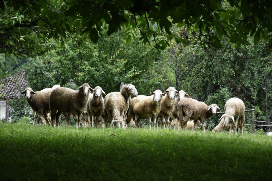 Porodica Gužvanj se iz Kanade vratila u Kupusinu da gaje ovce