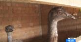Porodica u Zrenjaninu pripitomila emue: Najveća pomama za jajima VIDEO