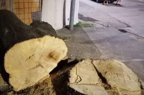 Posečeno stablo poslednjeg diva u centru Kruševca, niko ne zna zašto
