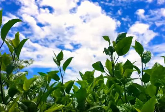 Potočarka, biljka kojom je Hipokrat lečio najteže bolesti! (VIDEO)