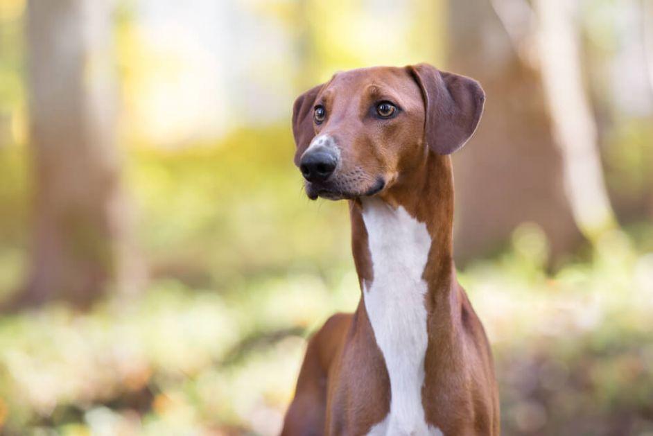 Prelepi, ali veoma ugroženi – ovo su najređe rase pasa na svetu