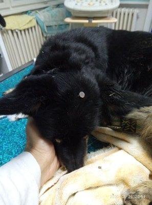 Priča koja je šokirala Srbiju: Operisan pas kome je ukucan ekser u glavu