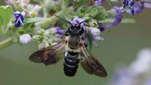 Prikupite podatke o azijskoj pčeli smolarici
