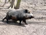 Proglašena epidemija afričke kuge divljih svinja na teritoriji Pirotskog okruga