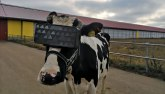 Proizvode li krave sa VR naočarama bolje mleko? Rusi znaju odgovor
